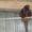 фазаны перепела кахинхины карликовые #450999