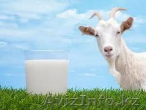 Молоко козье. Домашнее. Свежее, очень полезное и вкусное!   - Изображение #1, Объявление #1002547