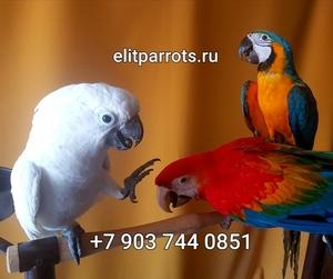 Попугаи - абсолютно ручные птенцы из питомников Европы - Изображение #1, Объявление #820341