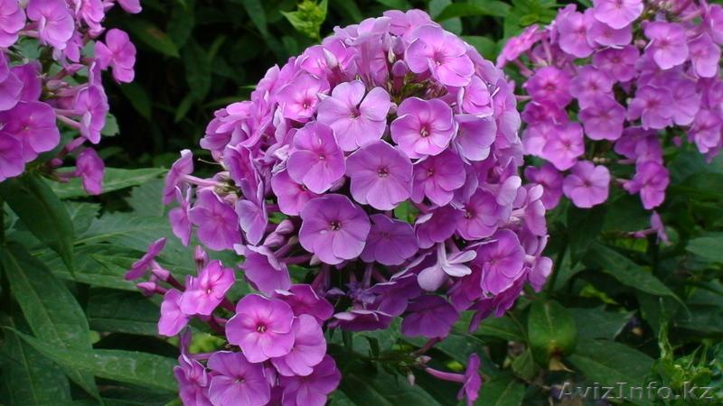 Показать в картинках все многолетние цветы