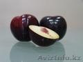 Саженцы (привитые, карликовых, полукарликовых и классических) плодовоягодных. ) - Изображение #9, Объявление #471566