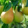 Саженцы (привитые, карликовых, полукарликовых и классических) плодовоягодных. ) - Изображение #2, Объявление #471566
