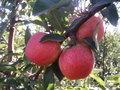 Саженцы (привитые, карликовых, полукарликовых и классических) плодовоягодных. ) - Изображение #6, Объявление #471566