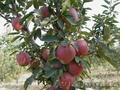 Саженцы (привитые, карликовых, полукарликовых и классических) плодовоягодных. ) - Изображение #8, Объявление #471566