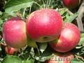 Яблони каллированные,  саженцы