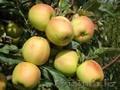 Яблони каллированные, саженцы - Изображение #5, Объявление #763337