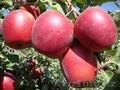 Яблони каллированные, саженцы - Изображение #7, Объявление #763337