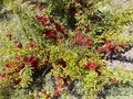 Саженцы декоративных растений - Изображение #4, Объявление #775420