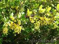 Саженцы декоративных растений - Изображение #2, Объявление #775420