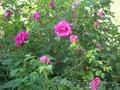 Саженцы декоративных растений - Изображение #8, Объявление #775420