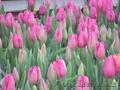 Сортовые тюльпаны и гиацинты