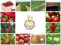 Саженцы яблонь,  груш,  вишни,  черешни,  персика,  малины
