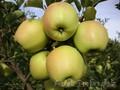 Саженцы яблонь Золотое, Американка, Старкримсон оптом 550 тг.  - Изображение #4, Объявление #882301