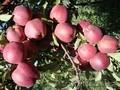 Саженцы яблонь Золотое, Американка, Старкримсон оптом 550 тг.  - Изображение #3, Объявление #882301