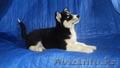 Элитные щенки сибирский хаски ( с документами)