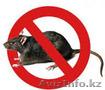 Борьба и уничтожение крыс в Алматы и Алматинской области - Изображение #3, Объявление #1131153