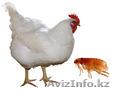 Обработка курятника, обработка птичника в Алматы, Объявление #1151061