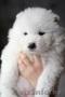 медвежата самоеды от чемпиона РК - Изображение #2, Объявление #1224268