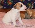 Продам щенков Парсон (Джек) рассел терьера  - Изображение #4, Объявление #591991
