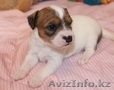 Продам щенков Парсон (Джек) рассел терьера  - Изображение #3, Объявление #591991