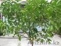 Продам дерево лимона - Изображение #3, Объявление #1281939