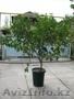 Продам дерево лимона - Изображение #2, Объявление #1281939