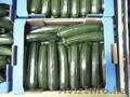 Кабачки цукини. Прямые поставки из Испании, Объявление #1328782