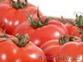 Томаты. Прямые поставки из Испании - Изображение #3, Объявление #1328779