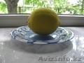 Продам дерево лимона - Изображение #4, Объявление #1281939