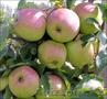 Саженцы яблони (местные) - Изображение #2, Объявление #1372566