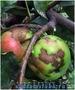 ОсенняВесенняя обработка садовых деревьев и роз от парши и курчавости., Объявление #1385553