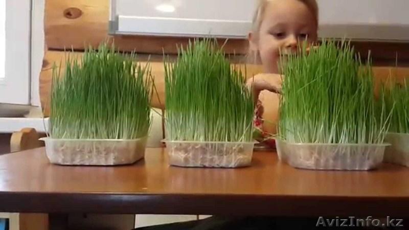 Садим укроп дома