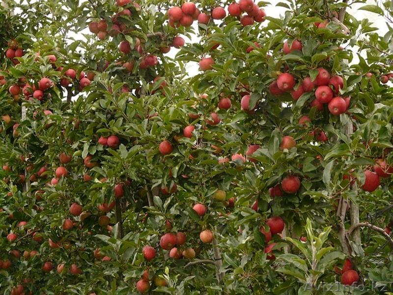 Обрезка плодовых деревьев. Алматы., Объявление #1440442