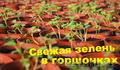 Салаты и пряные травы в горшочках