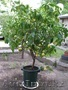 Продам дерево лимона - Изображение #5, Объявление #1281939
