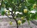 Продам дерево лимона - Изображение #6, Объявление #1281939