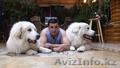 Большая горная пиренейская собака - Изображение #4, Объявление #1454775