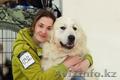 Большая горная пиренейская собака - Изображение #2, Объявление #1454775