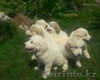 Большая горная пиренейская собака - Изображение #3, Объявление #1454775