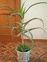 Цветы для дома и офиса, недорого. 1500тг срочно - Изображение #2, Объявление #1360434