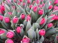 Тюльпаны к 8 марта оптом и розницу - Изображение #2, Объявление #1535623
