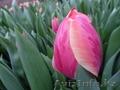 Тюльпаны к 8 марта оптом и розницу - Изображение #6, Объявление #1535623