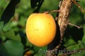 Саженцы абрикоса Харкот, Сомо, Эрли оранж - Изображение #2, Объявление #1536348