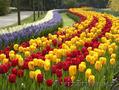 Луковицы тюльпанов для озеленения, Объявление #1537390