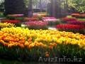 Луковицы тюльпанов для озеленения - Изображение #2, Объявление #1537390
