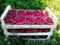 Саженцы малины Туламин, Микер, Виламет, Объявление #1536346