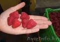 Саженцы малины Туламин, Микер, Виламет - Изображение #2, Объявление #1536346