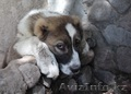 Элитные щенки алабая от чемпиона РК (документы СКК) - Изображение #3, Объявление #1560808