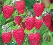 Продаю Свежую слвдкую малину - Изображение #2, Объявление #1573910