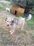 """Собака Анита из приюта """"Хвостатый Рай"""" - Изображение #4, Объявление #1576209"""